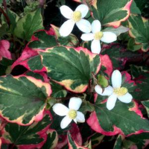 Vrtnarstvo Breskvar - Houttuynia cordata Chamaeleon