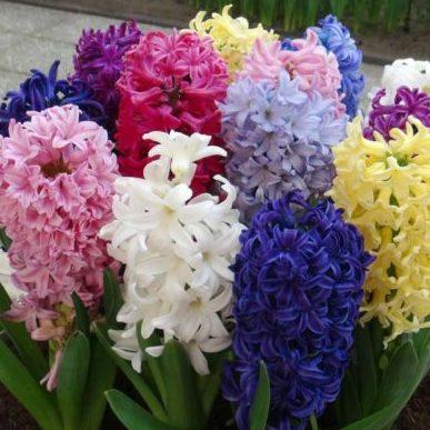 Vrtnarstvo Breskvar - Hyacinthus orientalis