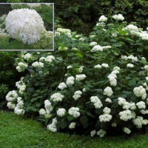 Vrtnarstvo Breskvar - Hydrangea arborescens Grandiflora