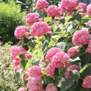Vrtnarstvo Breskvar - Hydrangea arborescens Pink Annabelle