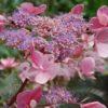 Vrtnarstvo Breskvar - Hydrangea aspera Hot Chocolate