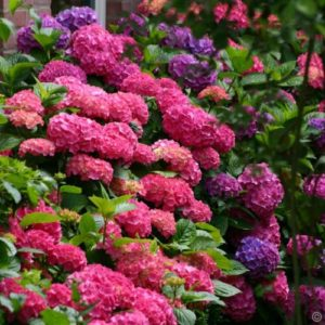 Vrtnarstvo Breskvar - Hydrangea macrophylla Bouquet Rose