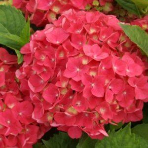 Vrtnarstvo Breskvar - Hydrangea macrophylla Leuchtfeuer