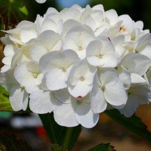 Vrtnarstvo Breskvar - Hydrangea macrophylla Madame Emile Mouillere