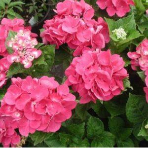 Vrtnarstvo Breskvar - Hydrangea macrophylla Merville Sanguine