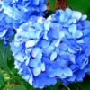 Vrtnarstvo Breskvar - Hydrangea macrophylla Nikko Blue