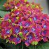 Vrtnarstvo Breskvar - Hydrangea macrophylla Schloss Wackerbarth