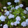 Vrtnarstvo Breskvar - Hydrangea macrophylla So Long Ebony
