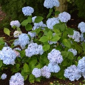 Vrtnarstvo Breskvar - Hydrangea macrophylla So Long Ebony