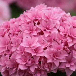Vrtnarstvo Breskvar - Hydrangea macrophylla You and Me Forever