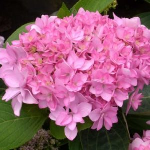 Vrtnarstvo Breskvar - Hydrangea macrophylla You and Me Romance