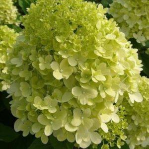Vrtnarstvo Breskvar - Hydrangea paniculata Limelight