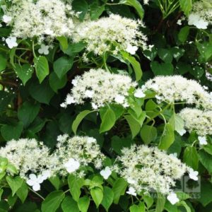 Vrtnarstvo Breskvar - Hydrangea petiolaris