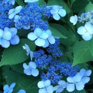 Vrtnarstvo Breskvar - Hydrangea serrata Blue Bird