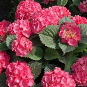Vrtnarstvo Breskvar - Hydrangea serrata Preziosa