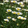 Vrtnarstvo Breskvar - Hymenostemma paludosum