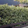 Vrtnarstvo Breskvar - Ilex altaclerensis Golden King