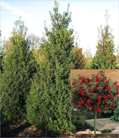 Vrtnarstvo Breskvar - Ilex aquifolium Alaska