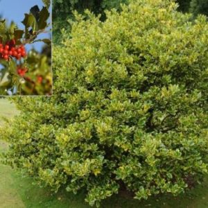 Vrtnarstvo Breskvar - Ilex aquifolium Golden van Tol