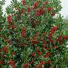 Vrtnarstvo Breskvar - Ilex aquifolium Pyramidalis