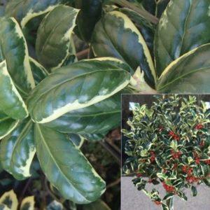 Vrtnarstvo Breskvar - Ilex aquifolium Silver van Tol