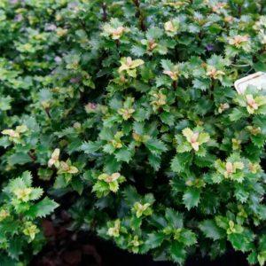 IIex meserveae 'Little Rascal' - Vrtnarstvo Breskvar