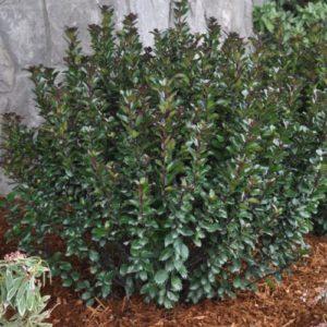 Vrtnarstvo Breskvar - Ilex meserveae Little Rascal