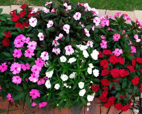 Vrtnarstvo Breskvar - Impatiens New Guinea