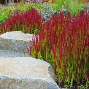 Vrtnarstvo Breskvar - Imperata cylindrica Red Baron