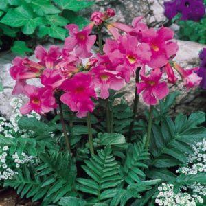 Vrtnarstvo Breskvar - Incarvillea delavayi