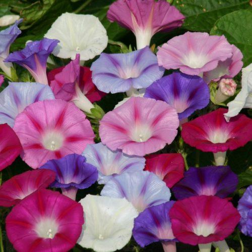 Vrtnarstvo Breskvar - Ipomea
