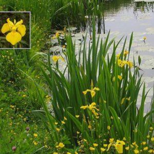 Vrtnarstvo Breskvar - Iris pseudacorus