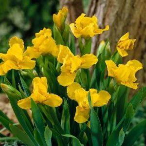 Vrtnarstvo Breskvar - Iris pumila Brassie