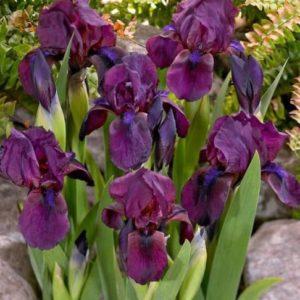 Vrtnarstvo Breskvar - Iris pumila Cherry Garden