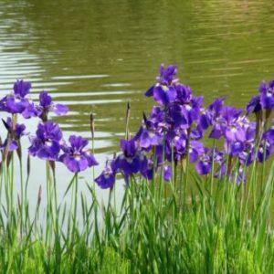 Vrtnarstvo Breskvar - Iris sanguinea