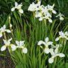 Vrtnarstvo Breskvar - Iris sibirica Alba