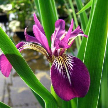 Vrtnarstvo Breskvar - Iris versicolor Kermesina