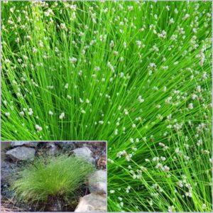 Vrtnarstvo Breskvar - Isolepsis cernua Fiber Optic