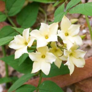 Vrtnarstvo Breskvar - Jasminum