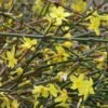 Vrtnarstvo Breskvar - Jasminum nudiflorum