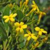 Vrtnarstvo Breskvar - Jasminum odoratissimum
