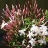 Vrtnarstvo Breskvar - Jasminum polyanthum