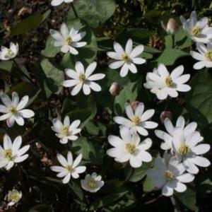 Vrtnarstvo Breskvar - Jeffersonia diphylla