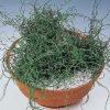 Vrtnarstvo Breskvar - Juncus effusus Spiralis