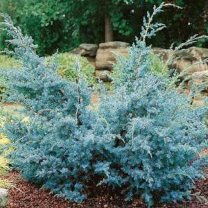 Vrtnarstvo Breskvar - Juniperus chinensis Blue Alps