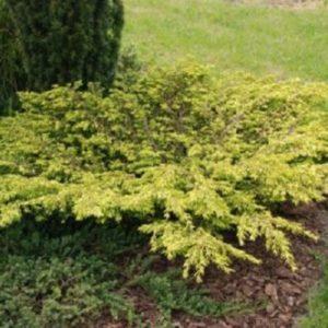 Vrtnarstvo Breskvar - Juniperus chinensis Goldschatz
