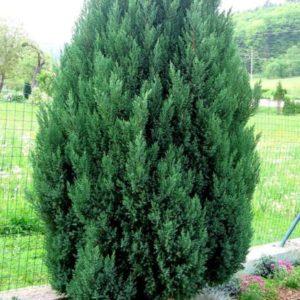 Vrtnarstvo Breskvar - Juniperus chinensis Stricta