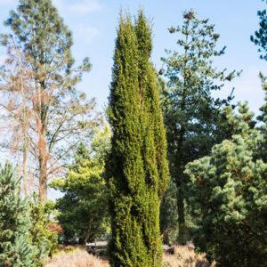 Vrtnarstvo Breskvar - Juniperus communis Arnold