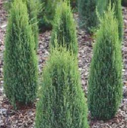 Vrtnarstvo Breskvar - Juniperus communis Compressa