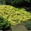 Vrtnarstvo Breskvar - Juniperus conferta Allgold
